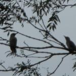 Green Woodpeckers 024